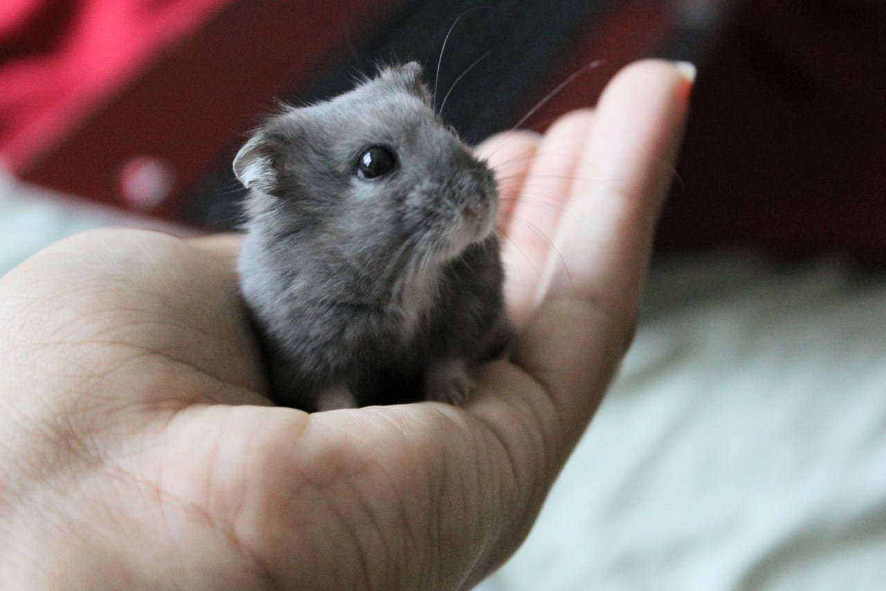 How To Care For A Dwarf Hamster