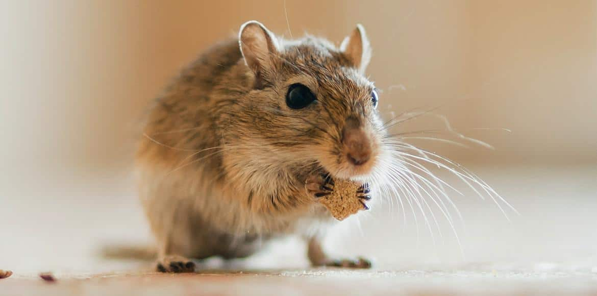 Can Gerbils Have Cheese?
