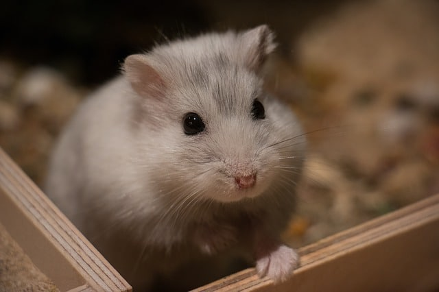 How Long Do Dwarf Hamsters Live