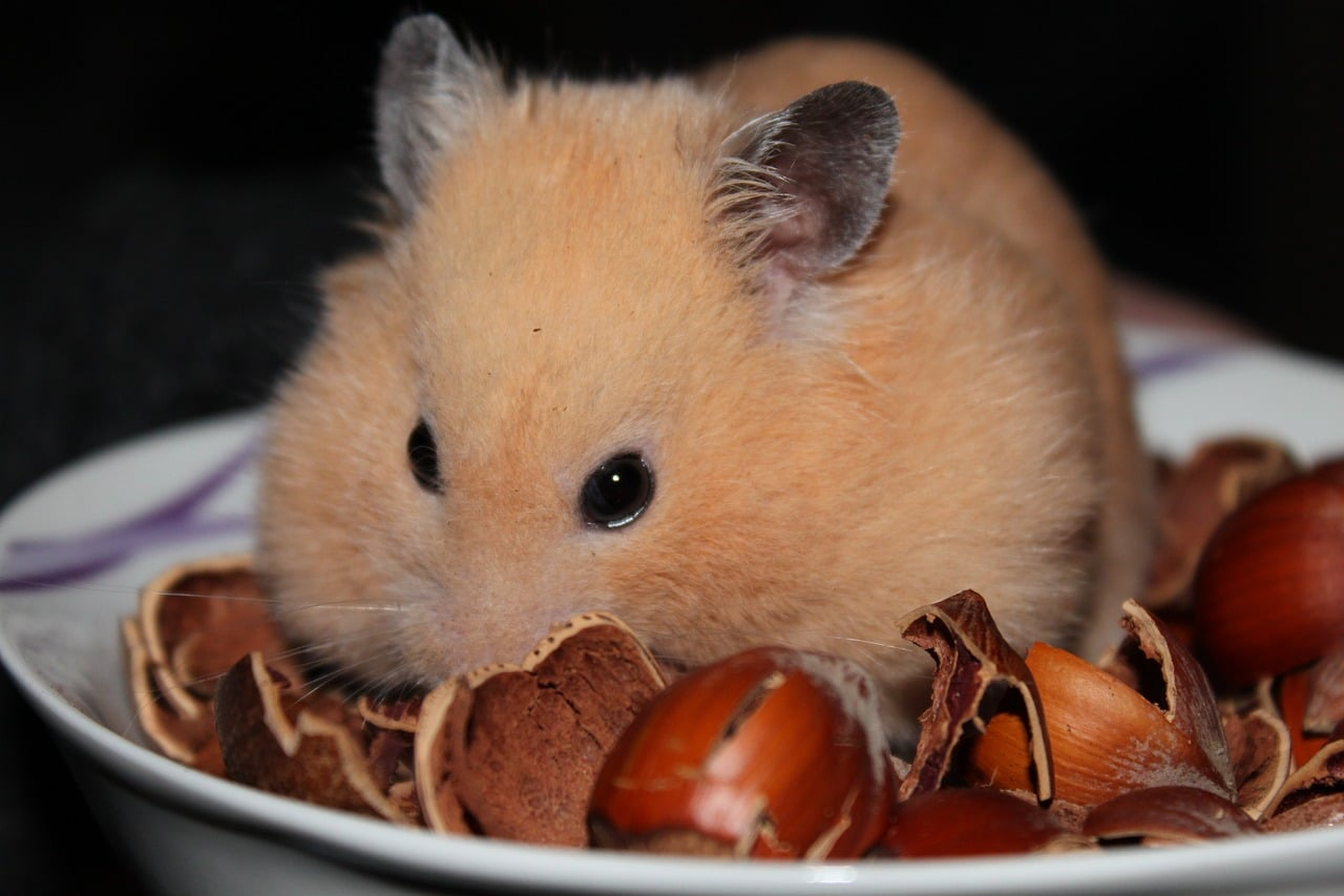 Where Do Dwarf Hamsters Come From?