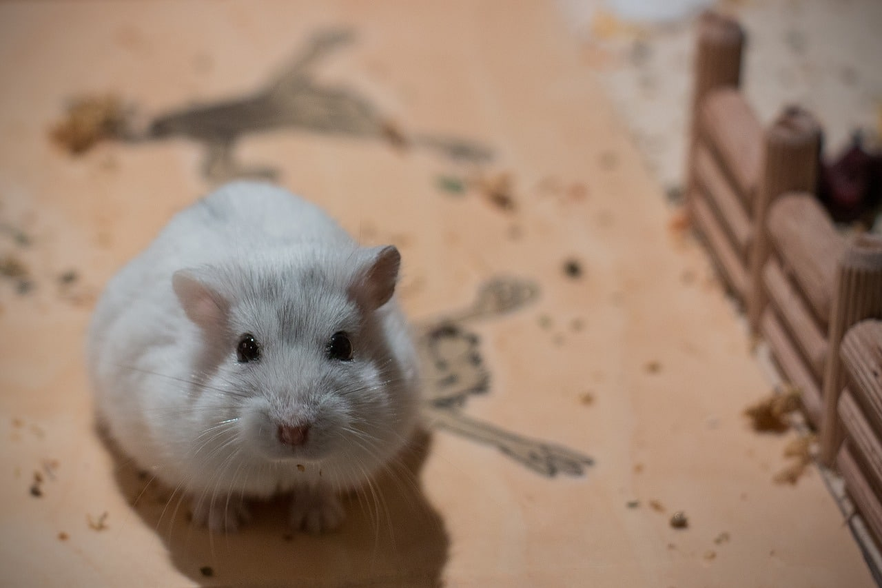 Are Dwarf Hamsters Friendly?