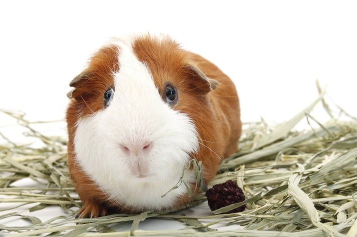 Top 5 Foods For Guinea Pigs | Dr Fox's Advice & Reviews For