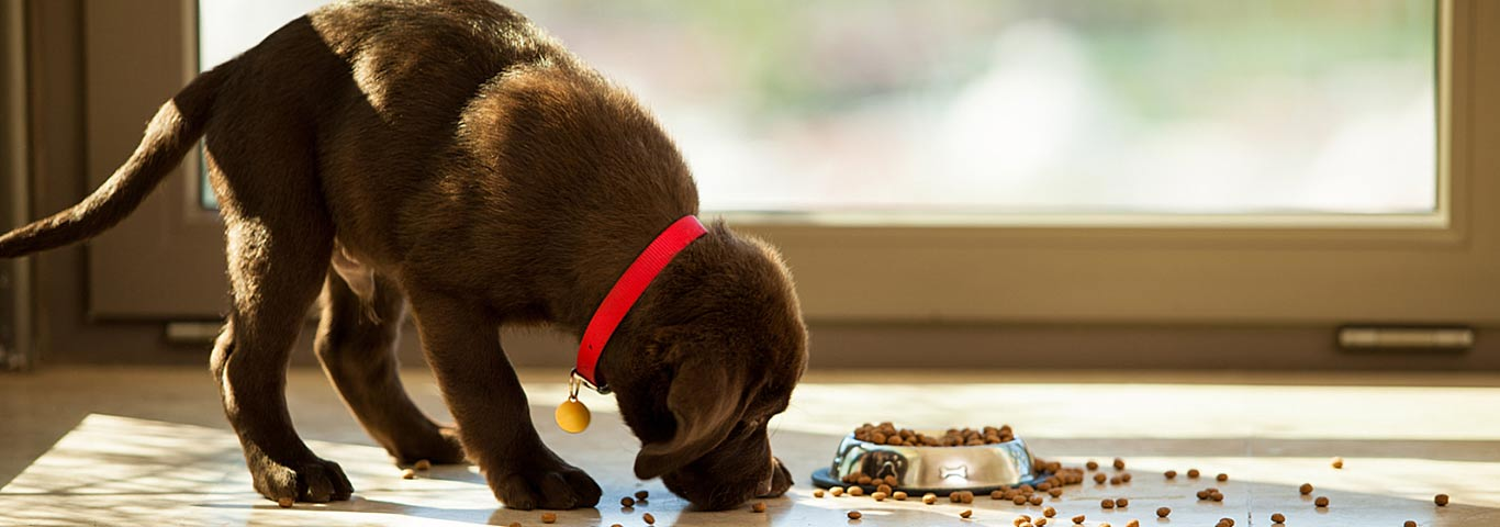 Puppy Not Eating Dog Food