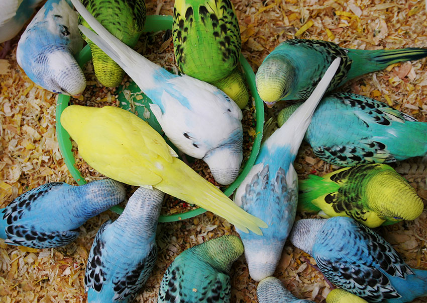 top 5 budgie foods of 2019 reviews comparative analysis