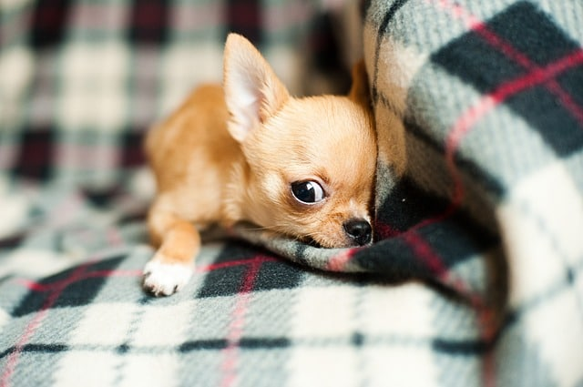 12 Foods For Chihuahua Puppies Must